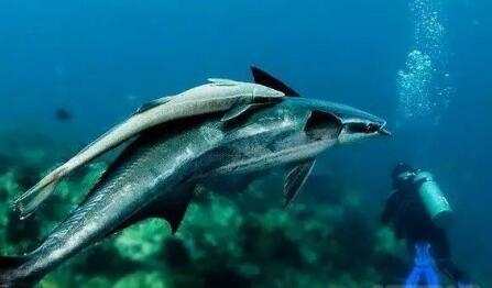 海洋仿生机器人又添新生源 仿生机器鮣鱼诞生